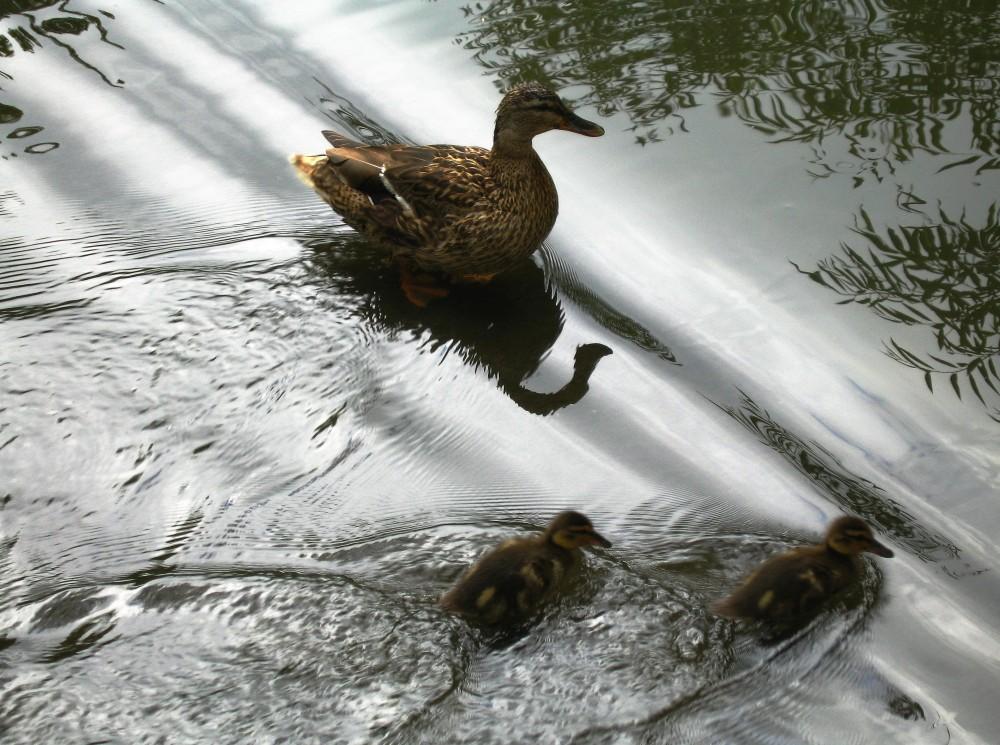 Ducklings demonstrating superposition