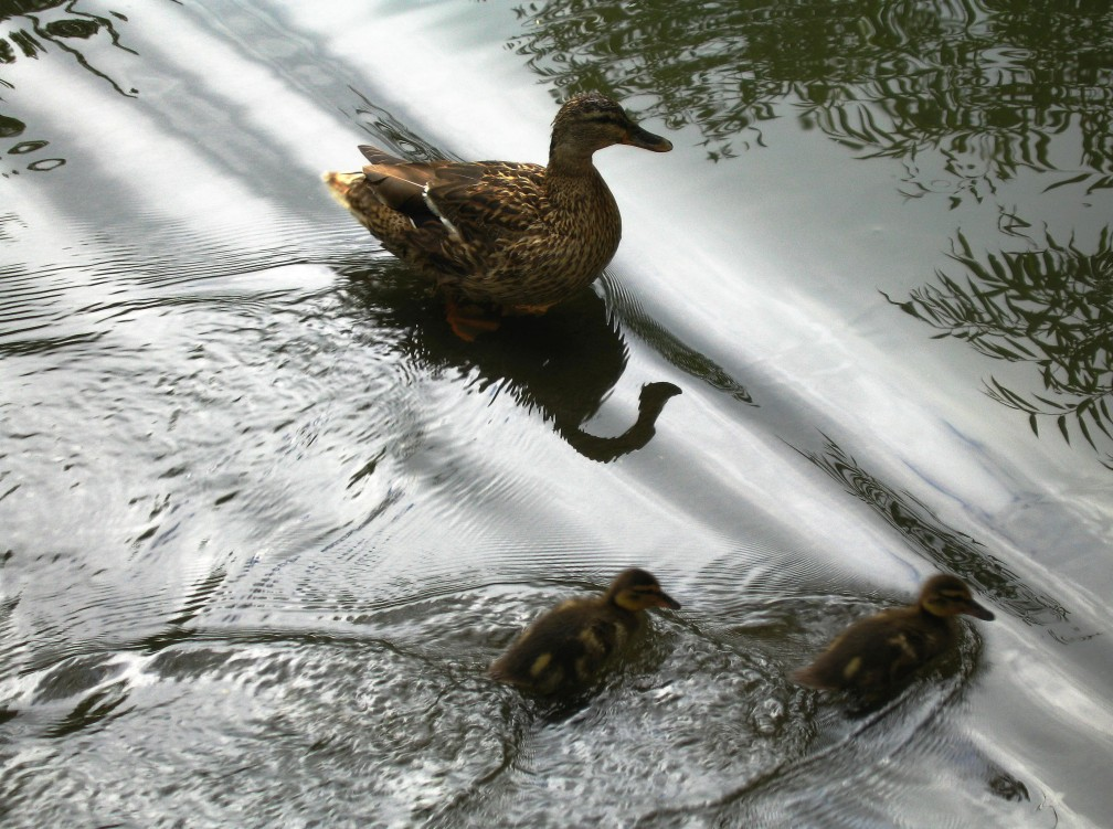 Ducklings demonstrating superposition